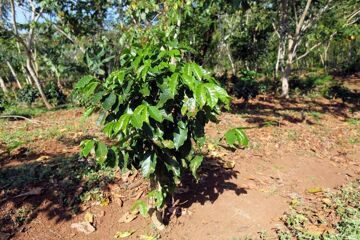 depositphotos_66488329-Coffee-Plantation-at-Cuba